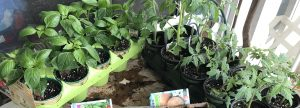 tomato and pepper starts is pots with soil